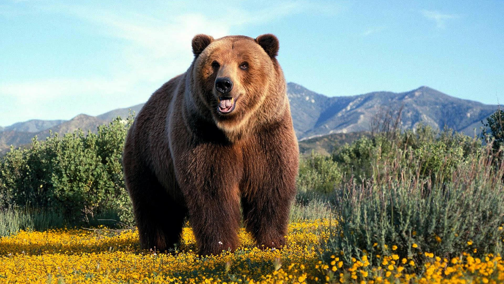 desktop-grizzly-bear-animal-pictures-dowload